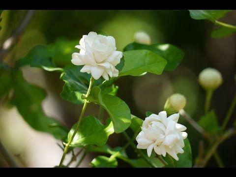 Mogra Plant म गर How To Grow And Care Arabian Jasmine Plant Budget Gardening Hindi Youtube Jasmine Plant Indian Flowers Plant Bud