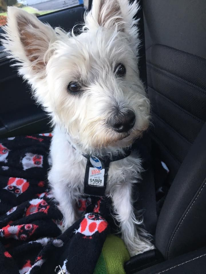 This is my copilot and Westie Lucy!! Westie puppies