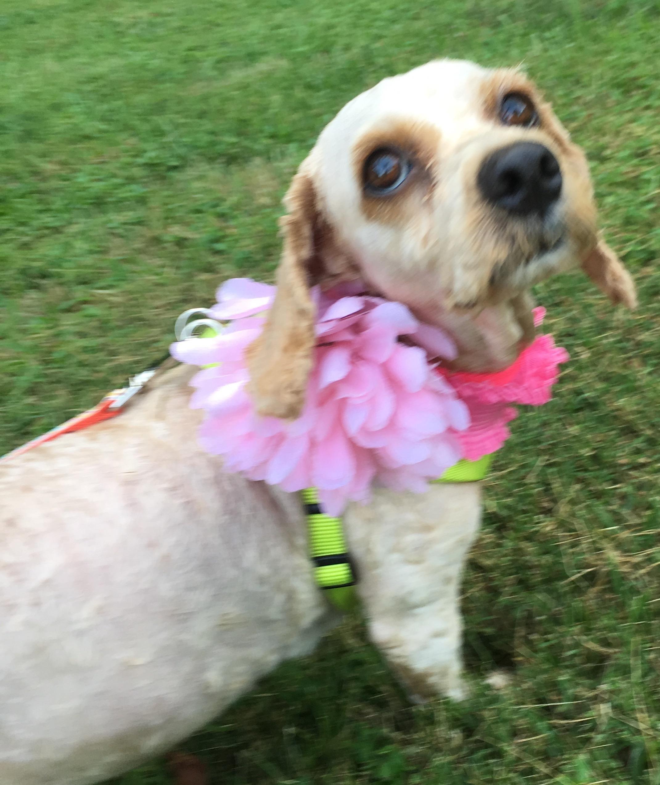 Adopt Willow on Cocker spaniel dog, Dogs, English cocker