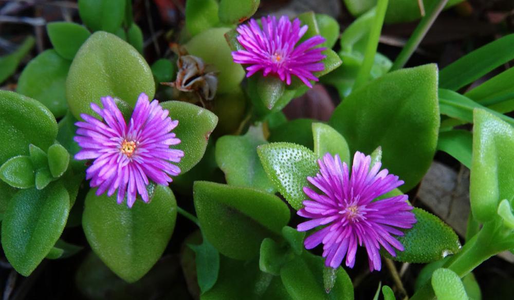 самом деле валерианница малая цветок фото стихия