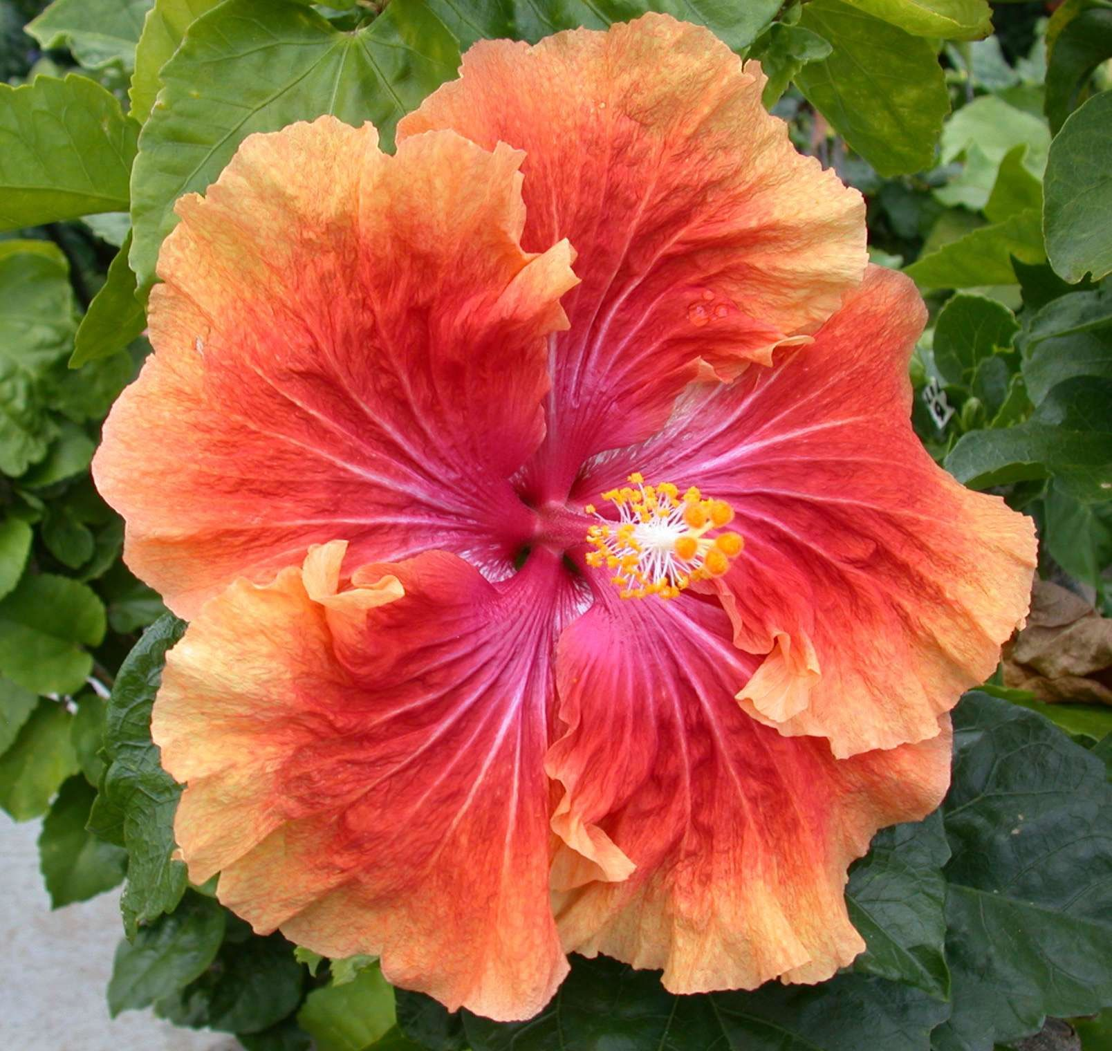 Hibiscus, Tahitian Coral Orange = 1000-1 Coral Passion x Lady In Red, 7.5 in, RJ1.jpg