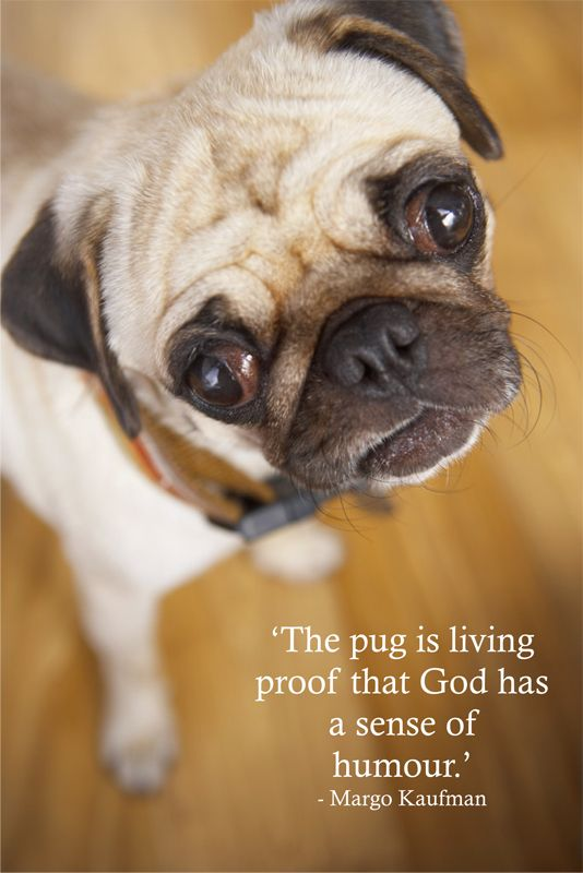 The Pug Is Living Proof That God Has A Sense Of Humour Margo