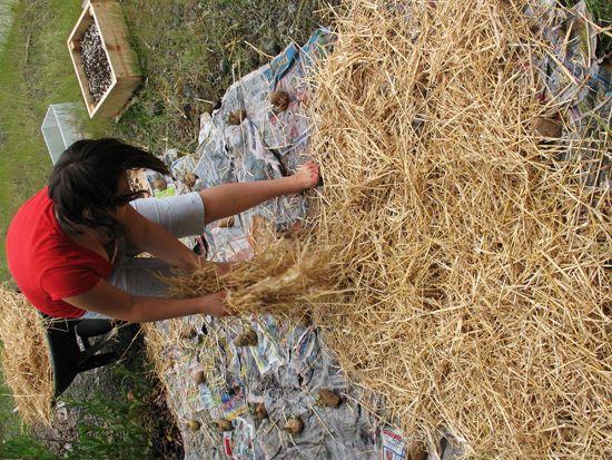 Faire pousser des pommes de terre dans du journal et de la paille o jardin pinterest la - Faire germer des pommes de terre ...