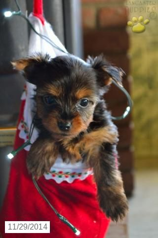 Yorkshire Terrier Puppy for Sale in Ohio