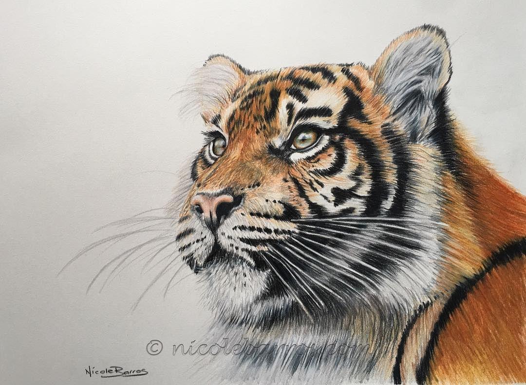 Tiger coloured pencil drawing tiger prismacolor artforsale