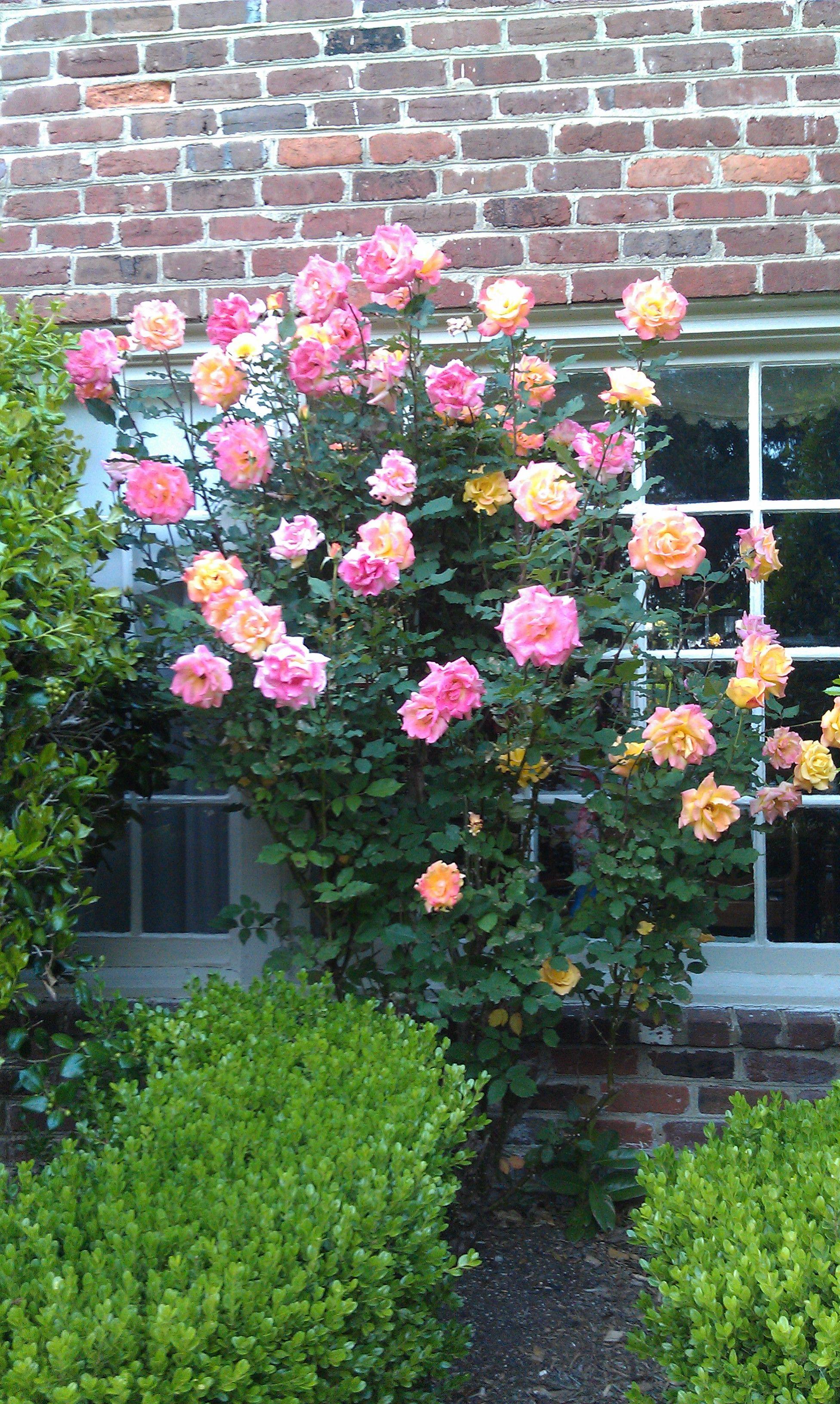 Rose Bush, Garden, Rose