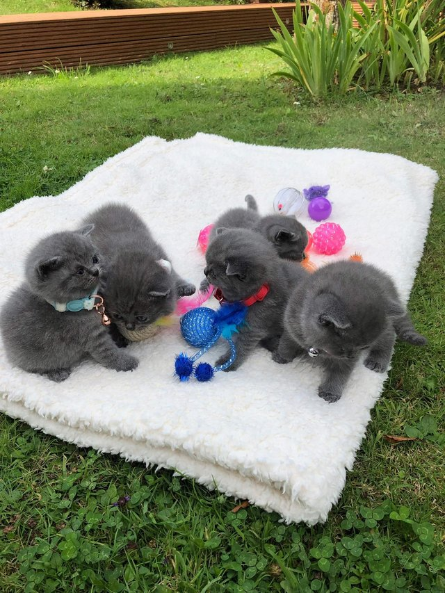 British Blue Kittens For Sale In Friern Barnet London Preloved In 2020 British Blue Kitten Kittens Kitten For Sale