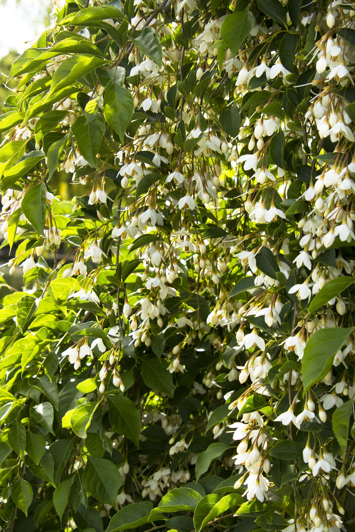 Japanese Snowbell Tree Monrovia From Karen Planted On West
