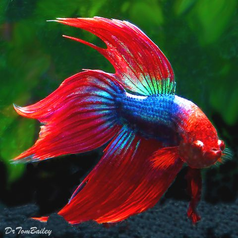 Siamese Fighting Fish At Where Shopping