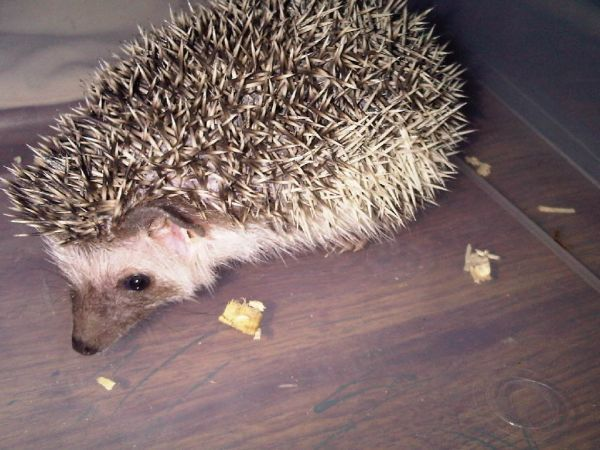 baby african pygmy hedgehogs eldon mo craigslist for sale pets