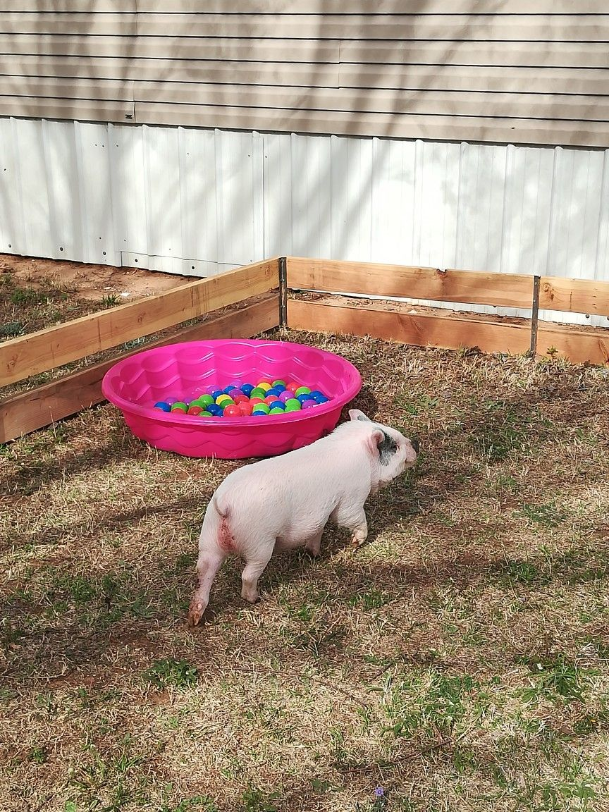 Pin by Amber Emily on pigs Mini pigs, Small pigs, Mini pig