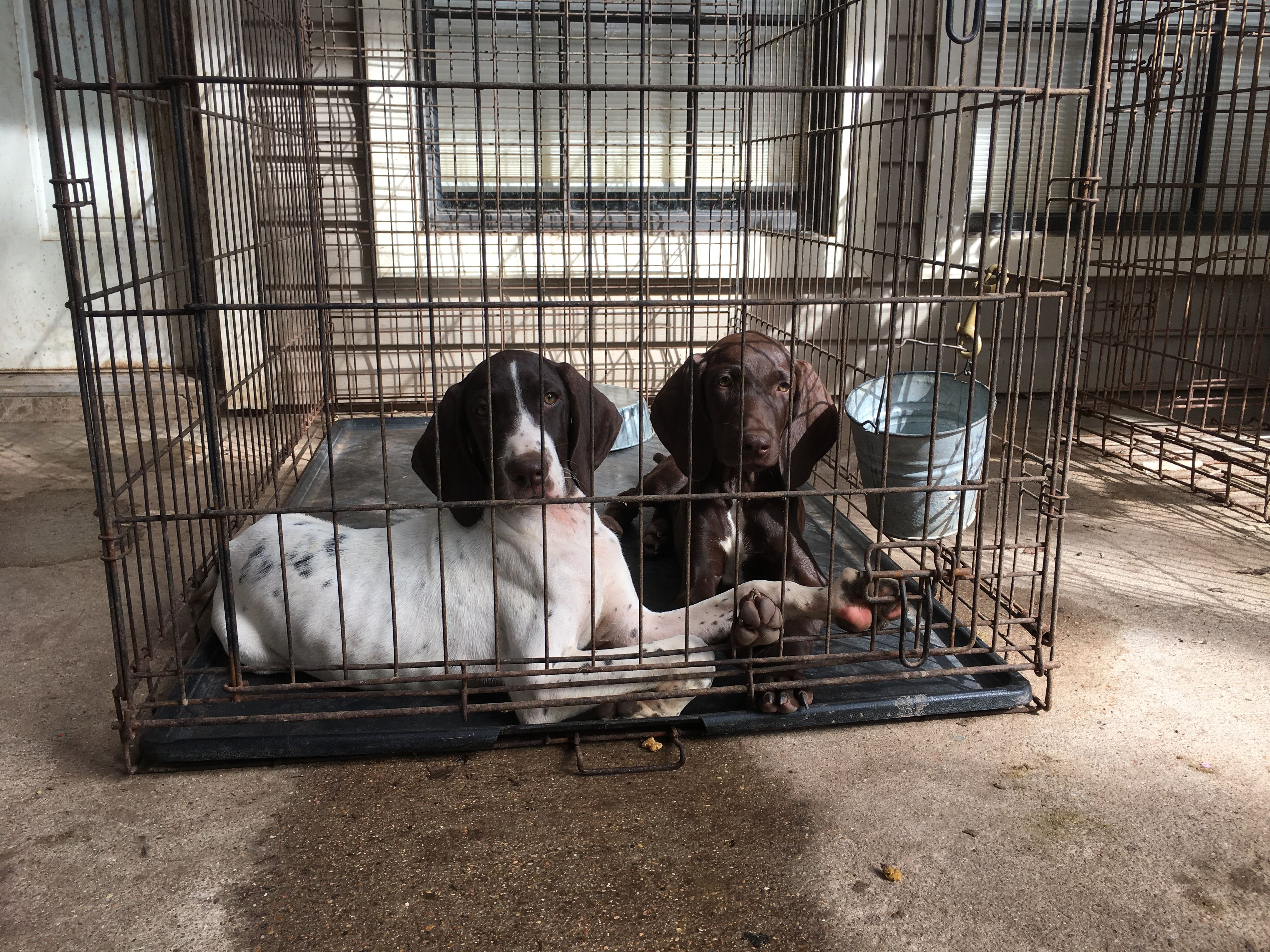 Pin By George Whiting On Blackland German Shorthair Pointer German Shorthair Animals Gsp