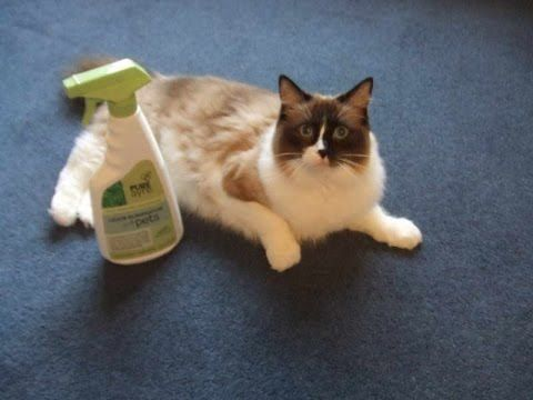 how to get cat pee out of carpet cat spray remove cat urine from carpet get rid of cat smell. Black Bedroom Furniture Sets. Home Design Ideas