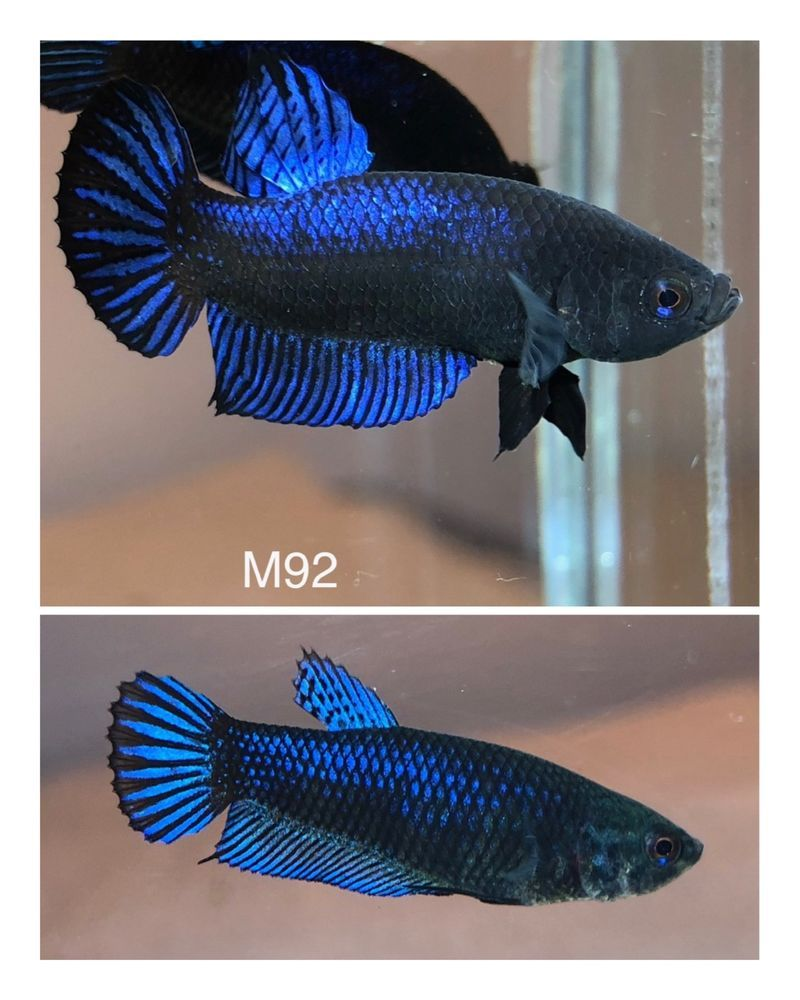 Betta Plakat Fighter Baby Bagan Pair Texastomplakat Male Female 2 Fish Betta Betta Fish Fish Pet
