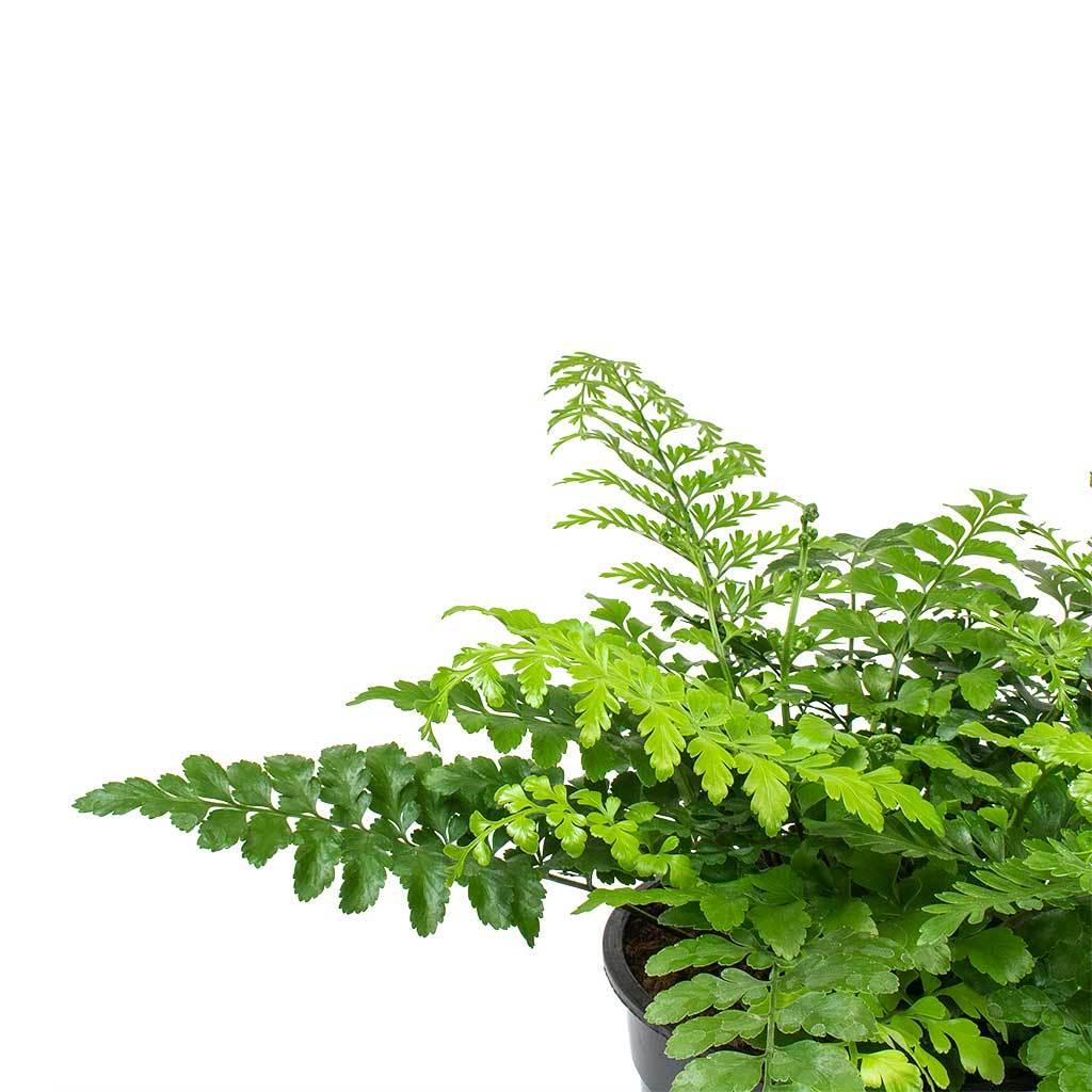Asplenium parvati mother fern indoor garden plant pot