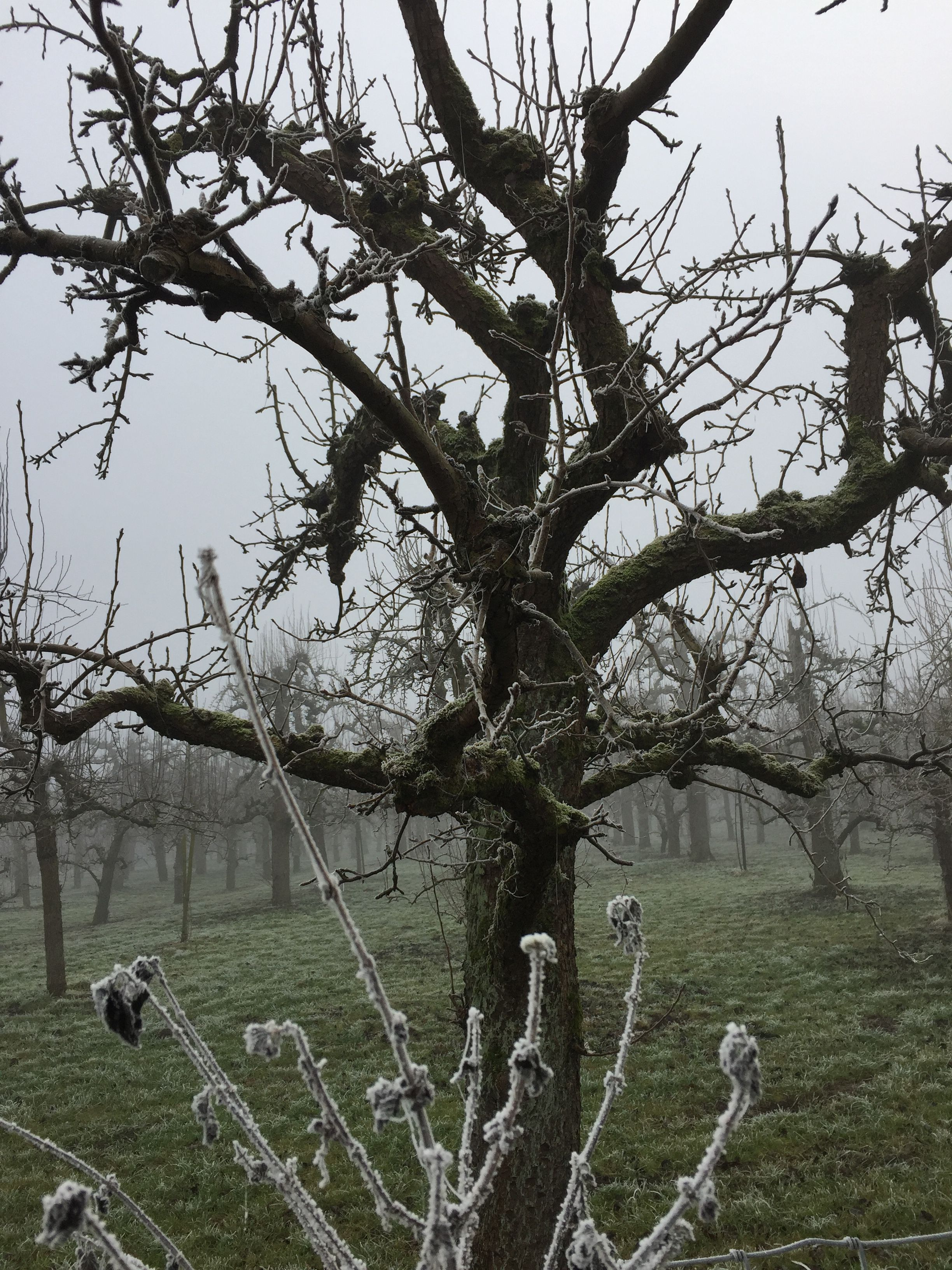 Frosty boomgaard Culemborg