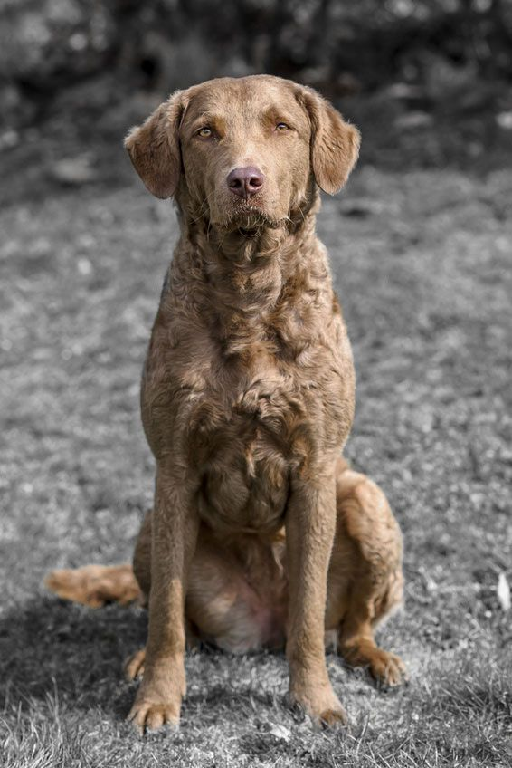 Chespeake Bay Retriever Chesapeake Dog Large Dog Breeds Dogs