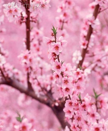 Pin By Eleni On Blooms Sakura Cherry Blossom Garden Calendar Cherry Blossom Season