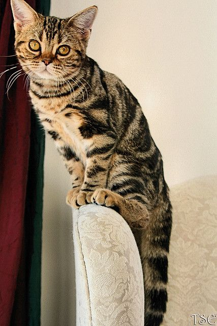Such A Poser American Shorthair Cat Cats Cats Kittens