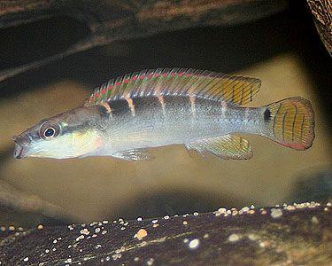 Aquariumdomain Com Cichlids Aquarium Fish Fish Pet