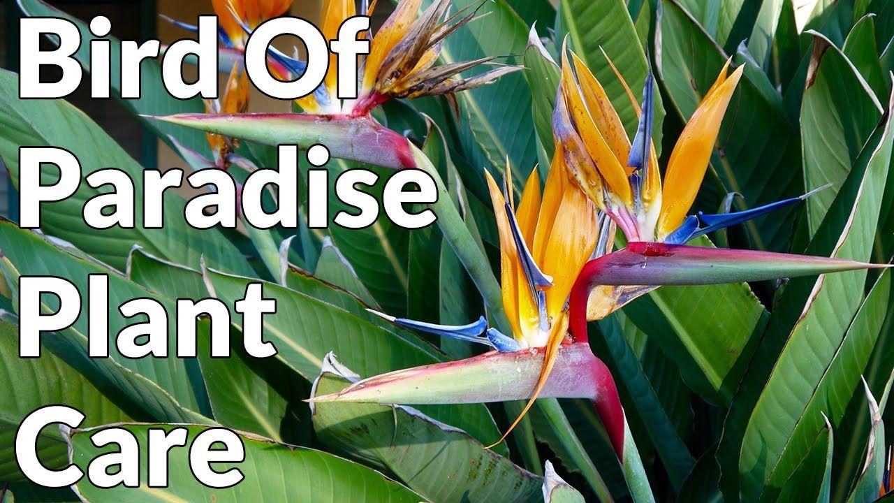 Bird Of Paradise Plant Care Tips Birds Of Paradise Plant Paradise Plant Birds Of Paradise