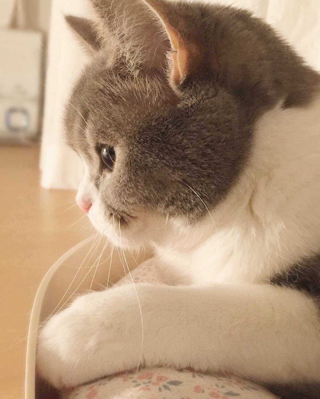 귀여운 시오 왠지 추울때 꺼내보면 따수울 것 같은 사진 #cat #sio #핑크코 #흰주댕이 #귀엽시오 by 1room1cat