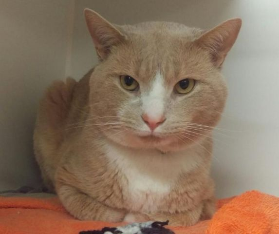 WORDSWORTH - A1077888 - - Manhattan  Please Share:   *** TO BE DESTROYED 06/30/16 *** A volunteer writes: Wordsworth was a great poet who expressed deep thoughts, and Wordsworth the cat has a deep capacity for love. This big-headed creamsicle cutie sat confidently at the front of his cat condo while I and another volunteer chatted and caught up. He wasn't needy, feisty, or demanding–he simply hung out happily with us, enjoying being part of the conversation and showing