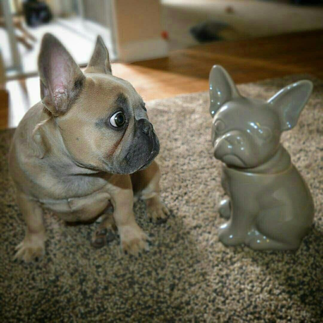 The Playful French Bulldog Dogs Temperament Frenchbulldoglovers