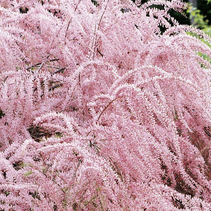 Tamarix Tetrandra Plants At Dobies Sutton Seeds Ornamental Trees Plants