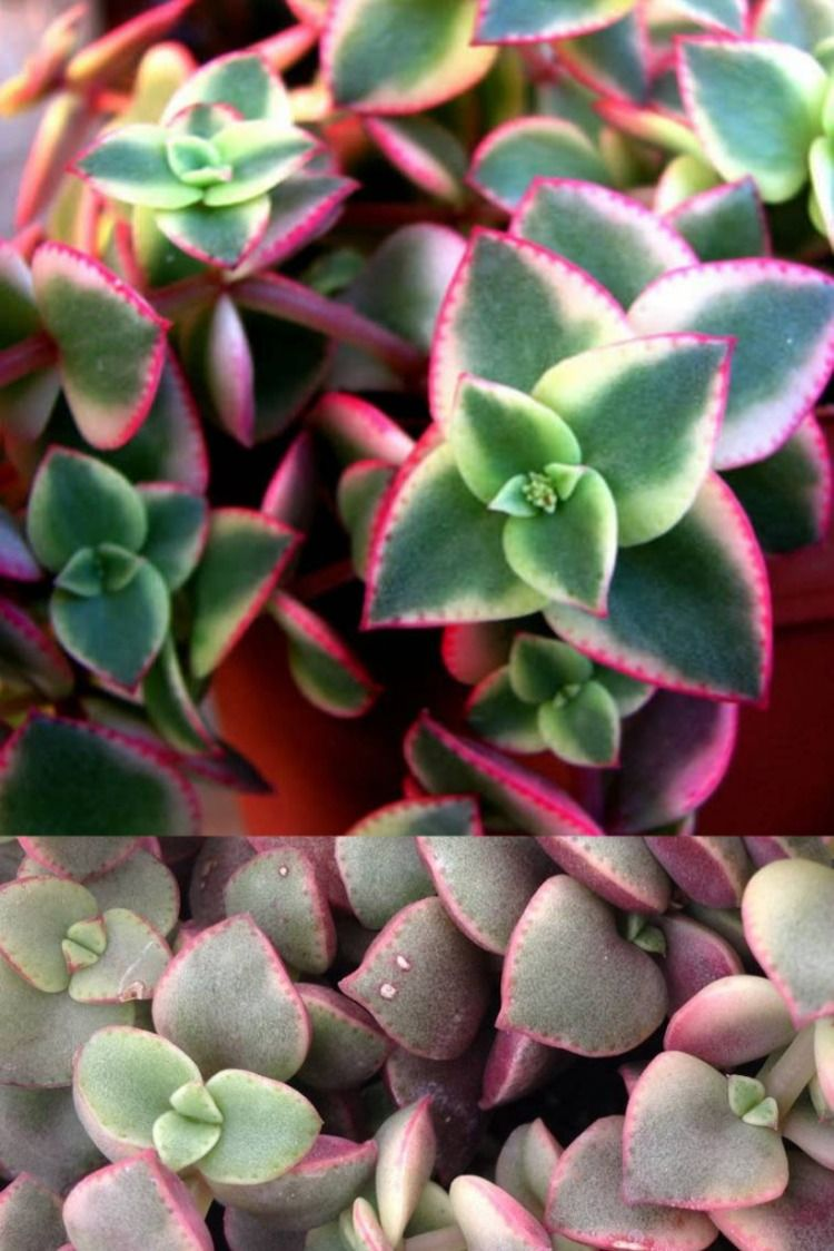 Crassula Calico Kitten In 2020 Calico Kitten Colorful Succulents Succulents