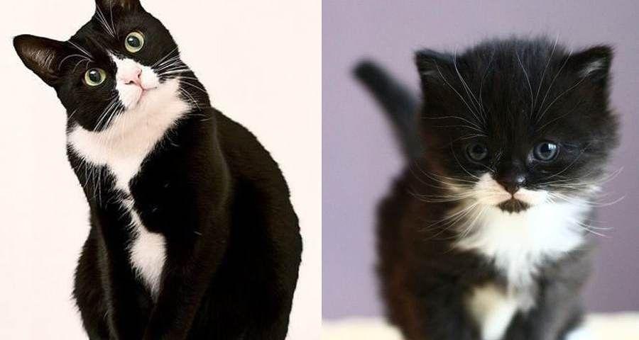 Tuxedo Cats (A Rockstar Cat In Suit )