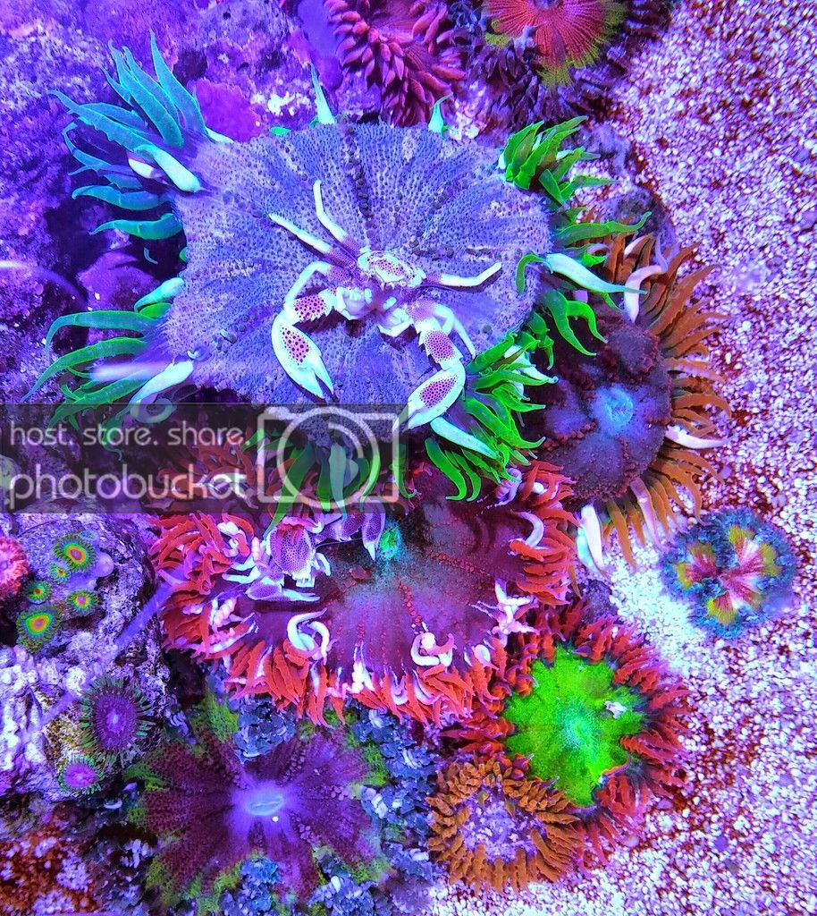 Rock Flower Anemone Hosting Porcelain Crab Reef Central Online Community Anemone Flowers Reef Tank