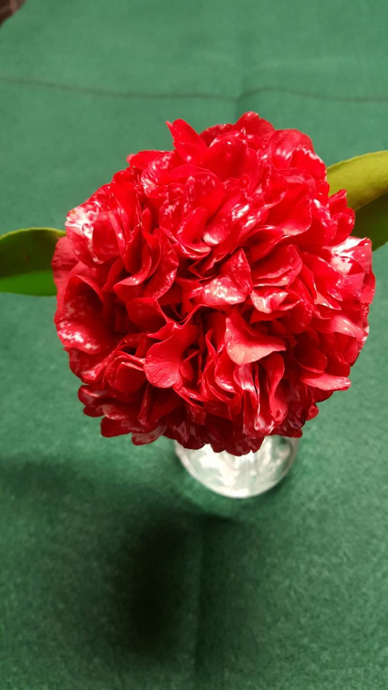 Magic City (Camellia Japonica) for US Gulf