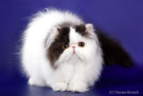 Kupit Persidskogo Ekzoticheskogo Kotenka Persian Kittens Persian Cat Cute Cats