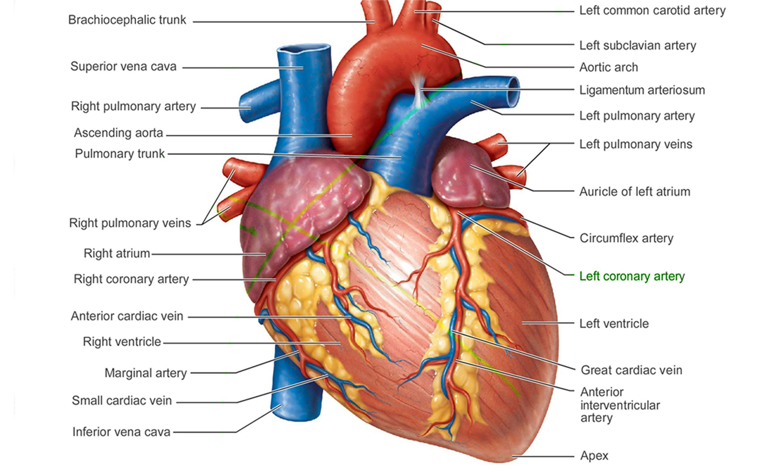 Pictures Of Human Heart Anatomy Anatomy Of The Human Heart 4k Ultra ...