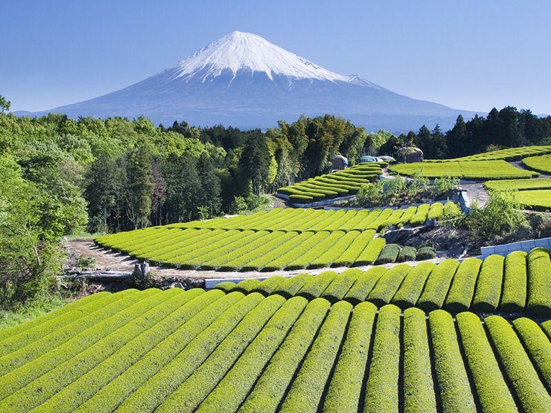 Today in Tokyo · moubosansen Tea fields in Shizuokaken