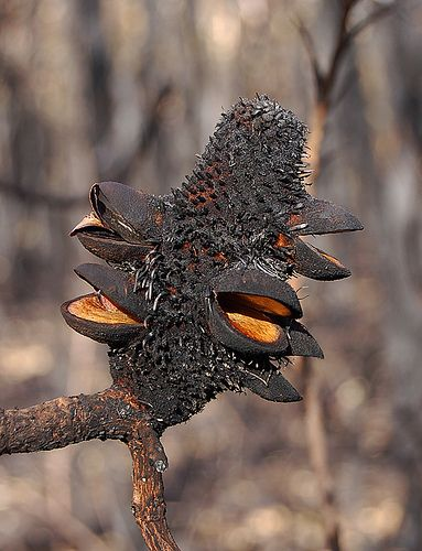 Burnt Banksia Pod Parts Of A Flower Australian Wildflowers Seed Pods