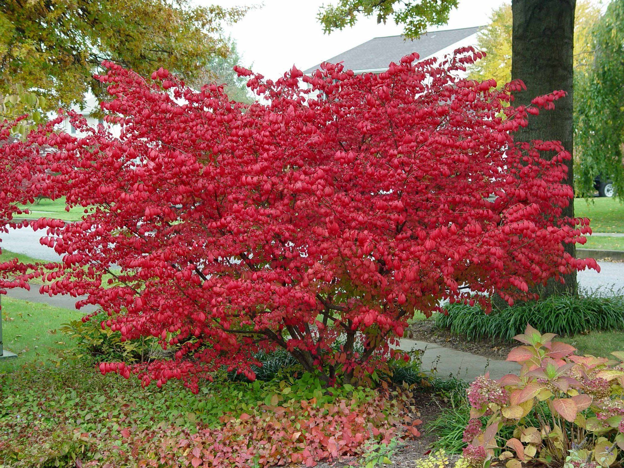 burning bush kaufen # 44