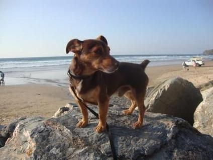 Rare Chocolate Miniature Jack Russell Terrier Jack Russell