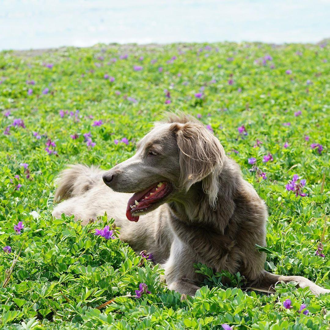 ワイマラナー ワイマラナーロングヘアード 千葉 鴨川 愛犬 愛犬との暮らし Weimaraner In 2020 Weimaraner Dogs Golden Retriever