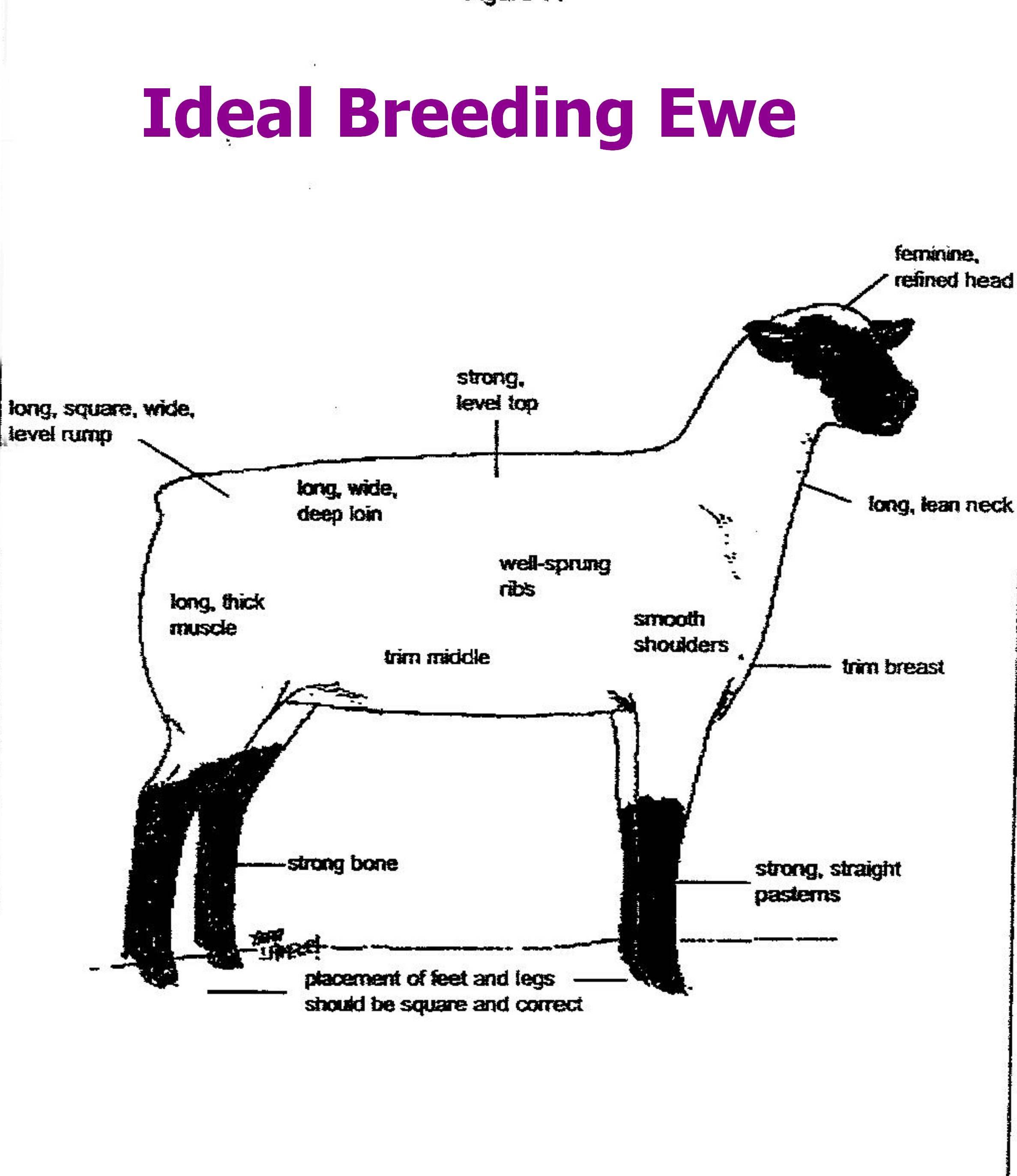 4 H Pig Diagram Wiring For Consumer Unit Http Ca Uky Edu Agripedia Agmania Breeds Sheepd Asp