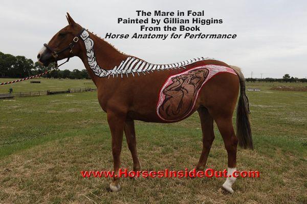 mare in foal | My biology board♡ | Pinterest | Anatomía