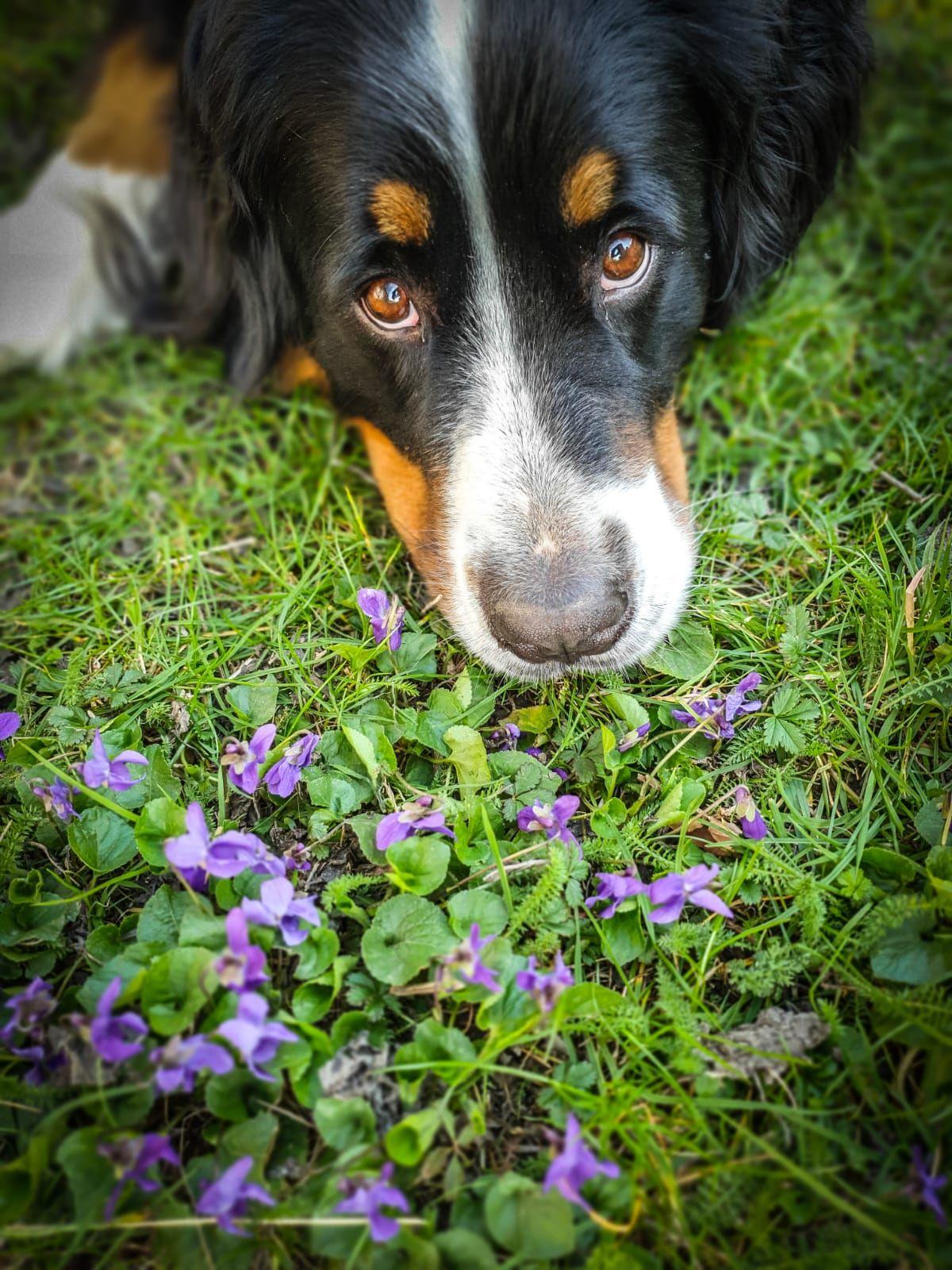 Sunny Von Bayern In 2020 Berner Sennenhund Sennenhund Hunde