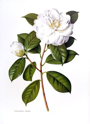 Camellia japonica 'Gauntletii' from 'The Camellia', illustrated by Jones and Boothe