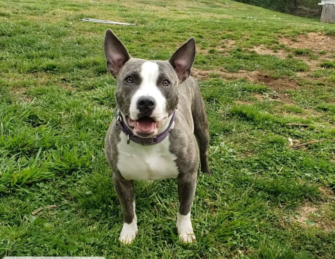 Adopt Rhetta On Terrier Mix Bull Terrier Mix Pitbulls