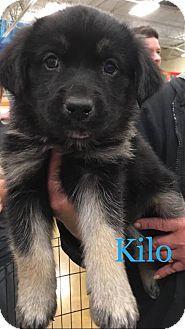 Sugar Grove Il German Shepherd Dog Husky Mix Meet Kilo A