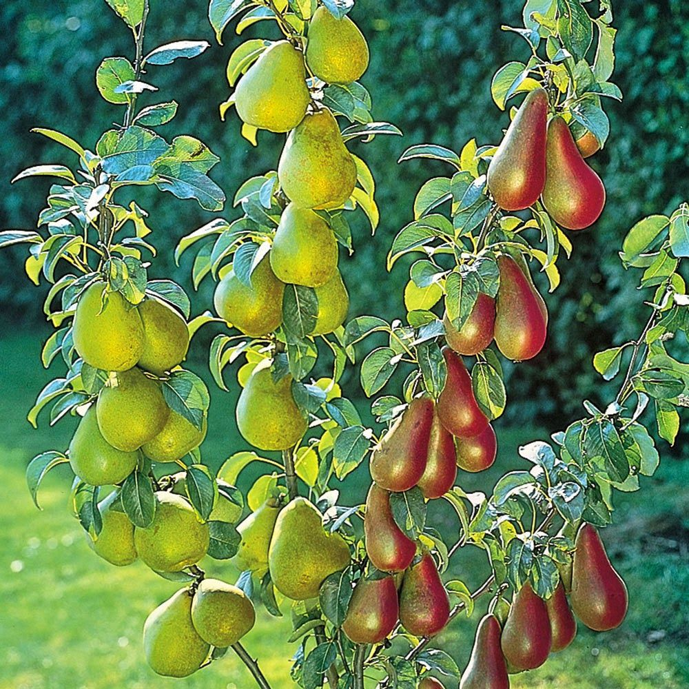 Organic Gardening The Best Dwarf Fruit Trees To Grow In Pots