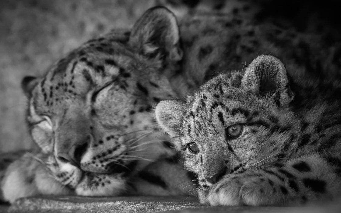 Wallpaper Et Fond D Ecran Animaux Leopard Bebe En 2020 Animaux Fond Ecran Animaux Leopard