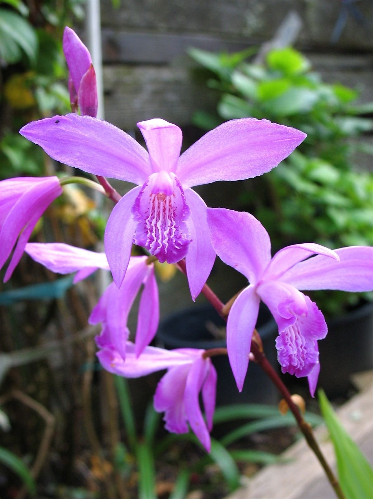 Bletilla Striata Chinese Ground Orchids Flowers Flower Wallpaper Regarding Chinese Ground Orchid Chinese Ground Orchid