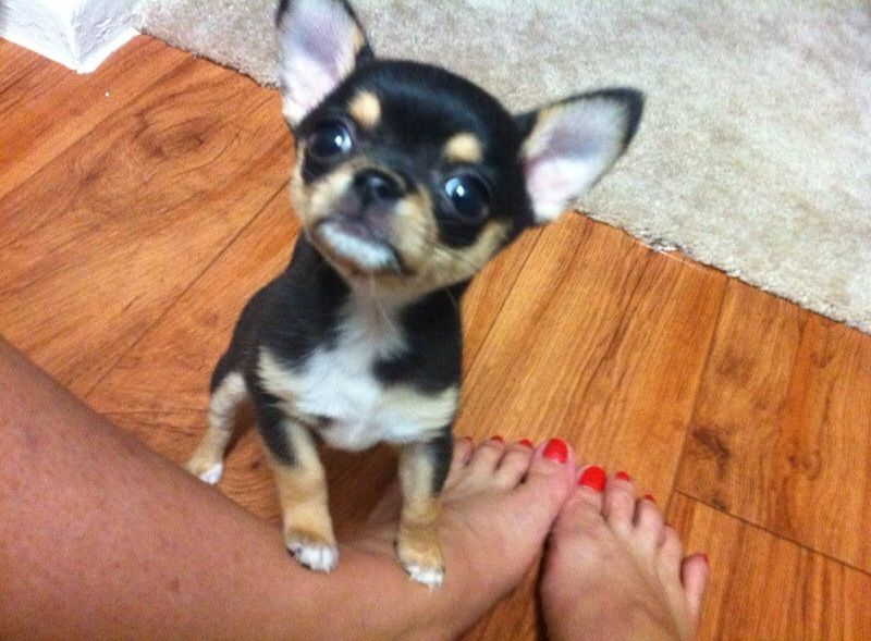 adult chihuahua in maryland sale tiny